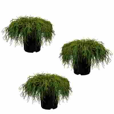 Grüne Zwerg-Fadenzypresse 'Filifera Nana' 9 cm Topf, 3er-Set