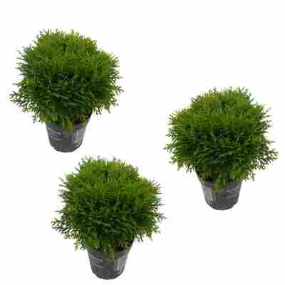 Zwergiger Kugel-Lebensbaum 'Danica' 9 cm Topf, 3er-Set
