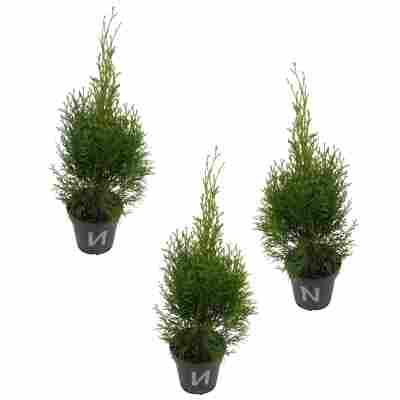 Lebensbaum 'Golden Smaragd' 9 cm Topf, 3er-Set
