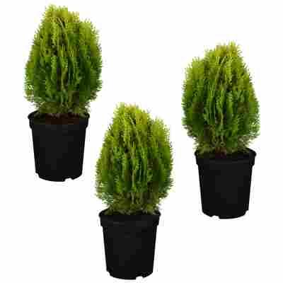 Gelber Zwerg-Lebensbaum 'Aurea Nana' 9 cm Topf, 3er-Set