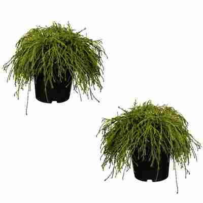 Grüne Zwerg-Fadenzypresse 'Filifera Nana' 12 cm Topf, 2er-Set
