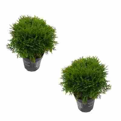 Zwergiger Kugel-Lebensbaum 'Danica' 12 cm Topf, 2er-Set