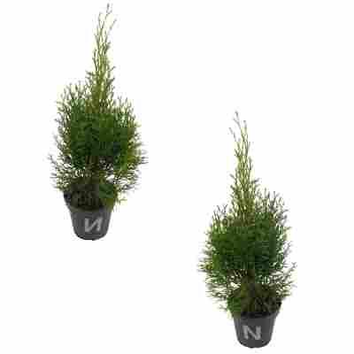 Lebensbaum 'Golden Smaragd' 12 cm Topf, 2er-Set