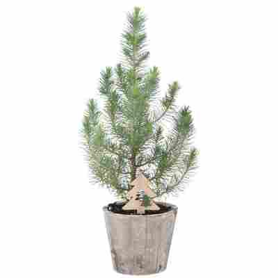Mittelmeer-Kiefer 'Silver Crest' mit Weihnachtsbaumstecker im Holztopf Ø 12 cm