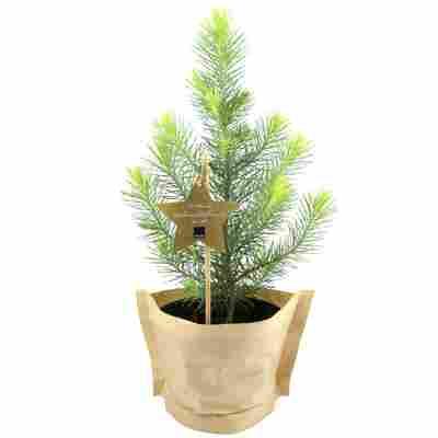 Bio-Weihnachtspinie 12 cm Topf