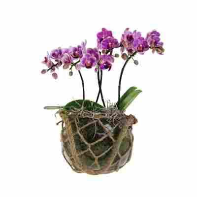 Orchideen-Arrangement 2 violette Orchideen im Glastopf mit Makramee-Netz