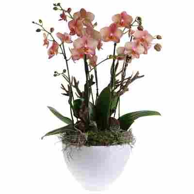 Orchideen-Arrangement 3 rosafarbene Orchideen im weißen Topf