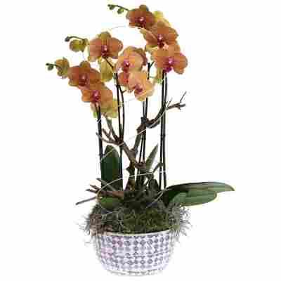 Orchideen-Arrangement 2 gelb-rote Orchideen in weiß-lila gemusterter Schale