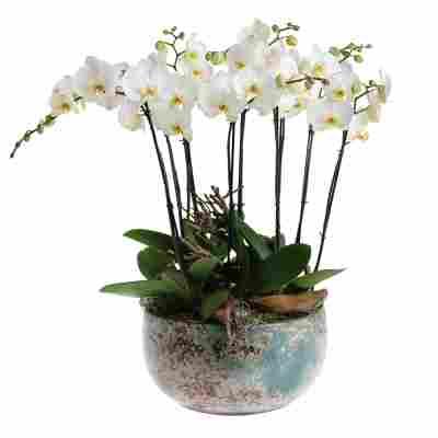 Orchideen-Arrangement 5 weiße Orchideen in blau-brauner Schale