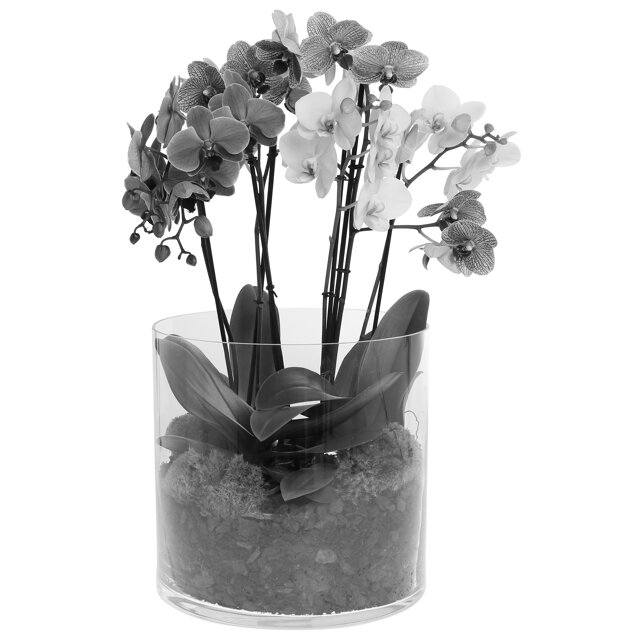orchideen arrangement 3 verschiedene orchideen im glas toom baumarkt. Black Bedroom Furniture Sets. Home Design Ideas