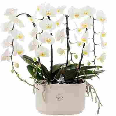 Schmetterlingsorchidee mit 4 Cascaden weiß 50 cm, 15x30 cm Keramikschale