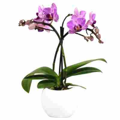 Schmetterlingsorchidee mit 2 Rispen verschiedene Sorten im Keramiktopf Ø 6 cm