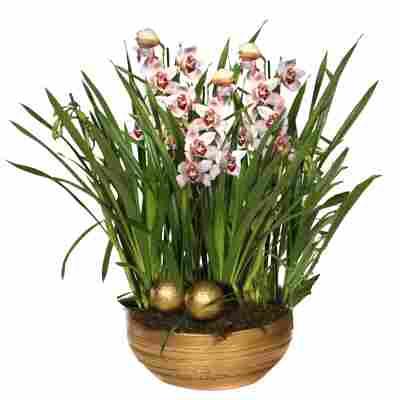 XXL-Cymbidium-Orchidee mit 6 Rispen rosa inkl. goldener Schale