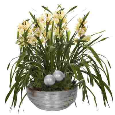 XXL-Cymbidium-Orchidee mit 6 Rispen gelb inkl. silberner Schale