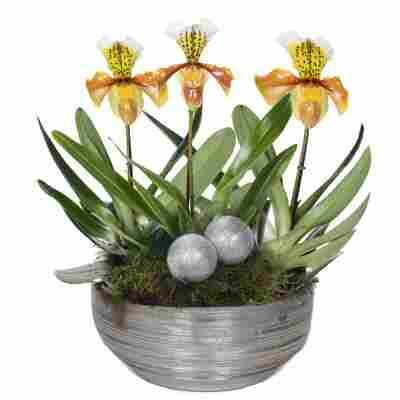 XXL-Frauenschuh 'USA' mit 3 Blüten inkl. silberner Schale