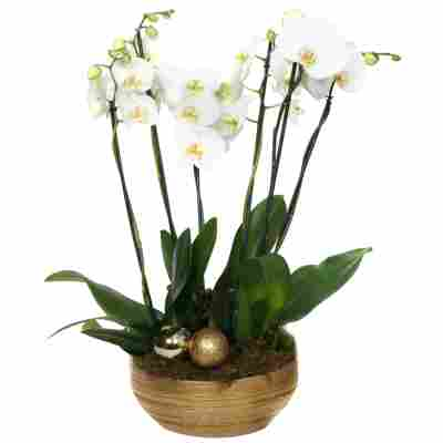 XXL-Schmetterlingsorchidee mit 6 Rispen weiß inkl. goldener Schale