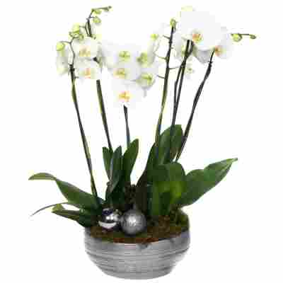 XXL-Schmetterlingsorchidee mit 6 Rispen weiß inkl. silberner Schale