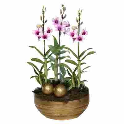 XXL-Dendrobium-Orchidee 'Polar Fire' mit 3 Rispen inkl. goldener Schale