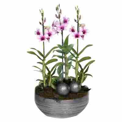XXL-Dendrobium-Orchidee 'Polar Fire' mit 3 Rispen inkl. silberner Schale