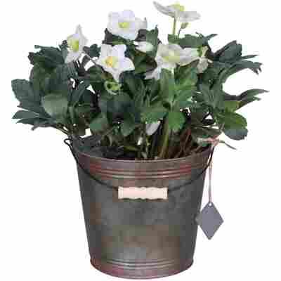 Christrose weiß im Zink-Eimer 19 cm