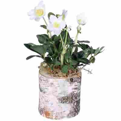 Christrose weiß im Holzstumpf 12 cm