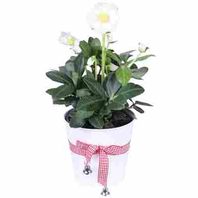 Christrose weiß im weißen Deko-Topf 12 cm