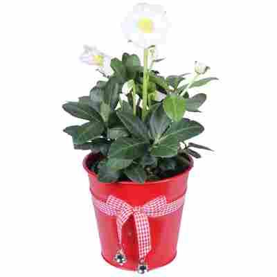 Christrose weiß im roten Deko-Topf 12 cm