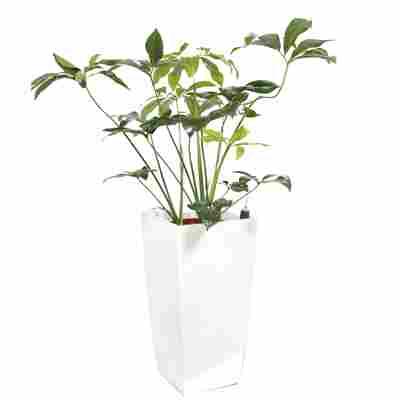 Baumfreund 'Green Wonder' 150 cm inkl. Hydrogefäß 'Piza' weiß
