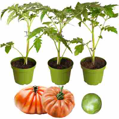 Naturtalent by toom® Historische Bio-Tomate 'Ochsenherz', 'Rote Russische' & 'Grünes Zebra' 11 cm Topf, 3er-Set