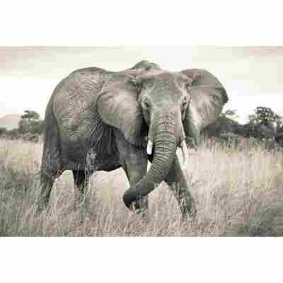 Vliesfototapete 'Elephant' 368 x 248 cm