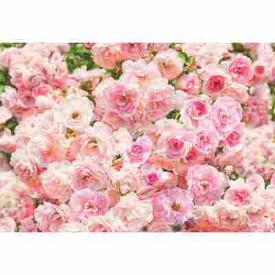 Fototapete 'Rosa' 368 x 254 cm