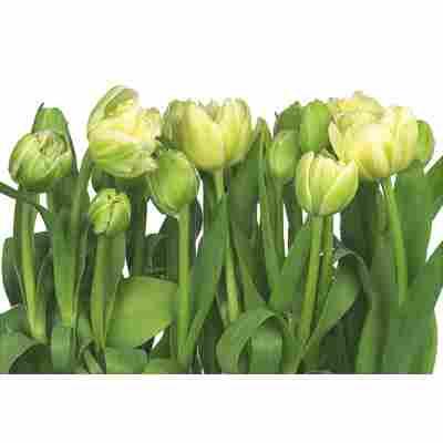 Komar Fototapete 'Tulips' 368 x 254 cm