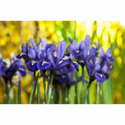 Iris, 10,5 cm Topf