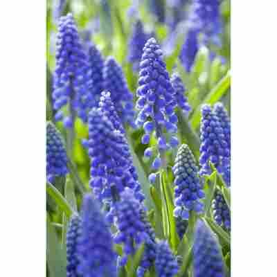 Traubenhyazinthe blau, 10,5 cm Topf, 3er-Set