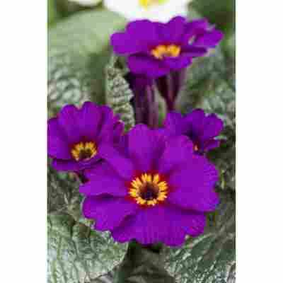 Primel 'Violett', 10,5 cm Topf