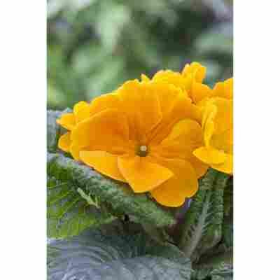 Primel 'Orange', 10,5 cm Topf