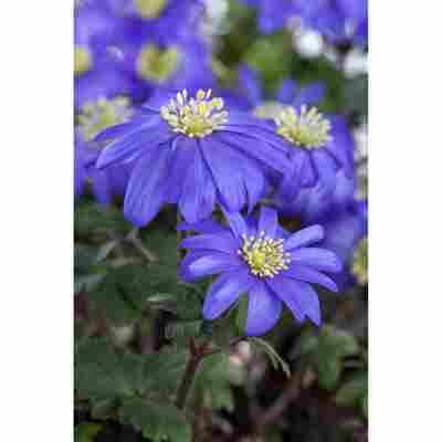 Anemone 'Blau', 10,5 cm Topf