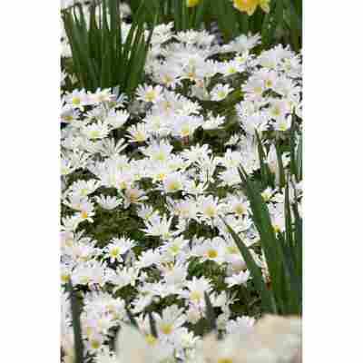 Anemone 'Weiß', 10,5 cm Topf