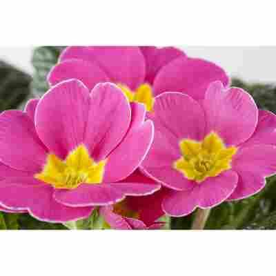 Primel 'Rosa', 10,5 cm Topf