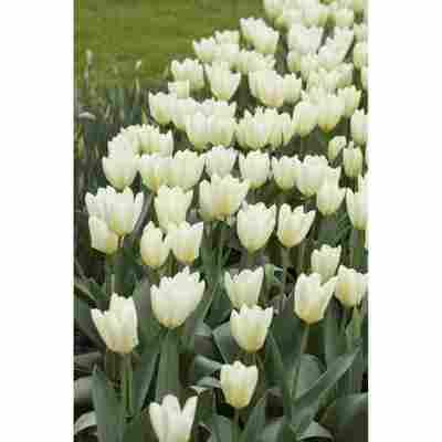 Tulpe weiß, 10,5 cm Topf, 3er-Set
