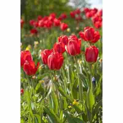 Tulpe rot, 10,5 cm Topf, 3er-Set
