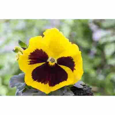 Stiefmütterchen 'Gelb', 9 cm Topf
