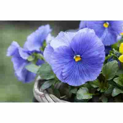 Stiefmütterchen 'Blau', 9 cm Topf