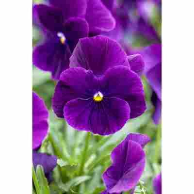 Stiefmütterchen 'Violett', 9 cm Topf