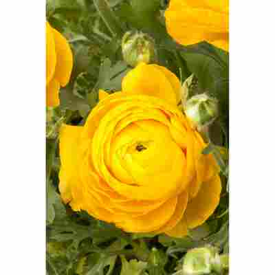 Ranunkel Gelb, 10,5 cm Topf, 3er-Set