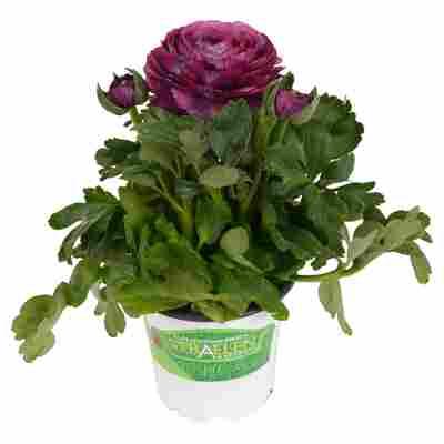 Ranunkel Violett, 10,5 cm Topf, 3er-Set