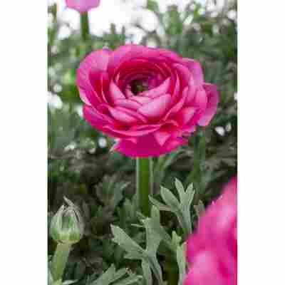 Ranunkel Rosa, 10,5 cm Topf, 3er-Set