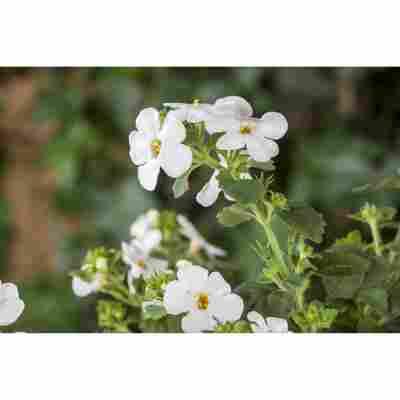 Schneeflockenblume 'Weiß', 12 cm Topf