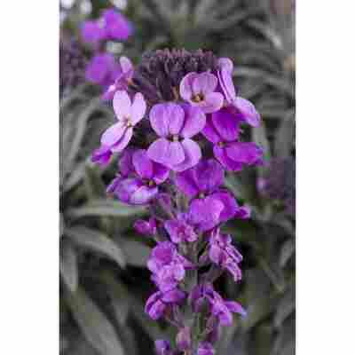 Goldlack 'Violett', 13 cm Topf