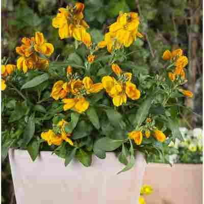 Goldlack 'Orange', 13 cm Topf